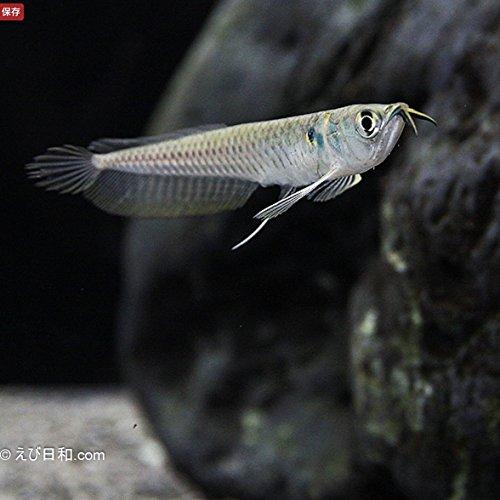 Sinbad (シンドバッド) (熱帯魚) シルバーアロワナ Sサイズ(6-7cm前後)1匹 (生体)