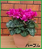 ☆(11月中旬以降のお届け予約品) 矢祭園芸オリジナル 八重咲き香りシクラメン「チモ」5号鉢植え パープル