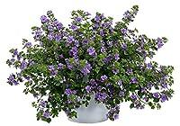 バコパ ダブル インディゴ1株 珍しい八重咲きのバコパ 宿根草