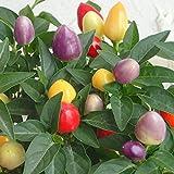 五色トウガラシ:フェスティバル4号鉢植え 2個セット[カラフルな実が楽しい観賞用とうがらし]
