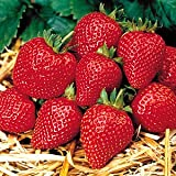 イチゴ(いちご)満腹セット 7種各1株計7株セット&追肥20粒付き *お届け先地域によっては別途送料が発生する場合があります