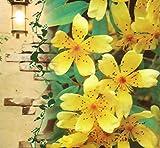 珍しい一重! 芳香高い一重咲 木香バラ(モッコウバラ)黄色 12cmポット長尺物(全高約60cm)