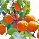 杏(あんず)苗木 平和杏