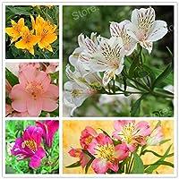 HIGH発芽SEEDSだけでなくPLANTS:イエロー:100SEEDミックスカラーリリーseedsLilyの花の種