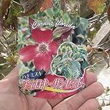 ハナミズキ苗チェロキー サンセット アカハナ花水木  ハナミズキ チェロキーサンセット鉢植用としてのサイズにおすすめ サイズ