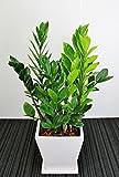 観葉植物 開店祝い立札付き ザミオクルカス6号陶器鉢角型