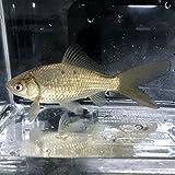 (淡水魚)魚取沼産系 鉄魚(15cm±)(1匹)【生体】