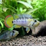 (熱帯魚)アピストグラマsp.Inka-50(1ペア) 本州・四国限定[生体]