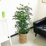 シルクジャスミン ゲッキツ 8号鉢 ナチュラル鉢カバー付 観葉植物 中型 大型 インテリア