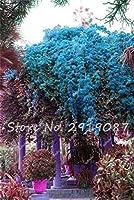 装飾ヤードの美しい100個カラフルなBougeaをSpectabilis種子種子