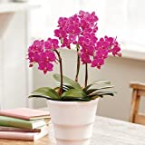 花鉢 母の日 フラワーギフト ミディ胡蝶蘭 「キラキラ」ピンク系 日比谷花壇