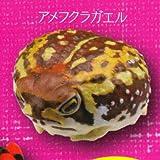 カプセルQミュージアム 財布にカエル お財布蛙 [4.アメフクラガエル](単品)