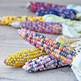 AuCatStore(TM) 20X Rainbow Corn Seeds Organic Vegetables Sweet Food Edible Seeds Grain Plant KK