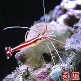 (海水魚 エビ)スカンクシュリンプ Sサイズ(5匹) 本州・四国限定[生体]