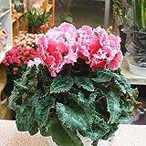 シクラメン ピンク色 5号かご付き鉢植え 花ギフトや誕生日プレゼントに人気