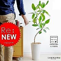 LAND PLANTS 【観葉植物】 フィカス・アルテシーマ (白色スリム丸型陶器)floor green series