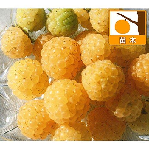 木いちご(キイチゴ):ラズベリー ワインダーイエロー3.5号ポット[二季成りの黄実豊産種][苗木] ノーブランド品