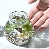 (熱帯魚 水草)私の小さなアクアリウム ゴールデンアカヒレボトルセット ?マツモとウィローモス?(1セット)説明書付 本州・四国限定[生体]