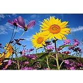 秋と夏と青空と向日葵のポストカードphoto by 中澤 敏 葉書ハガキ