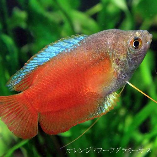 (熱帯魚)オレンジドワーフグラミー オス (約4cm)<1匹>[生体]