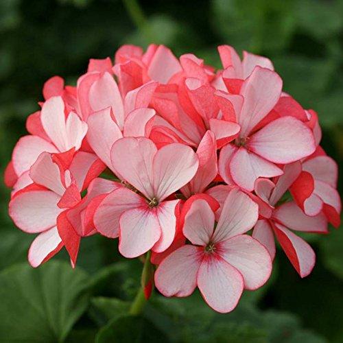 Beho-10 個入まれなゼラニウム種 Appleblossom ローズバッド ゼラニウム多年草花の種します。