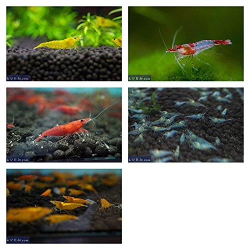 Sinbad (シンドバッド) チェリーシュリンプファミリー5種セット 20匹(+3匹補償付)(極火、黄金イエロー、オレンジ、ブルー、レッドルリー) [生体]