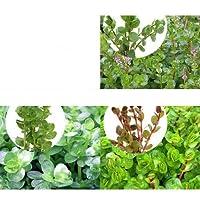 (水草)人気のロタラ 水上葉3種セット(無農薬)(計30本) 本州・四国限定[生体]