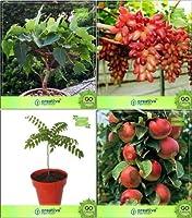 SEED盆栽種子:空気清浄機盆栽適切な種子コンボイチジクReligiosa、カレー、ApplSEEDシード(パケットあたり10)
