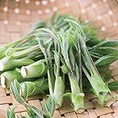 コシアブラ 3.5号ポット 4株セット[香りが強くタラの芽よりおいしいといわれる山菜の苗]