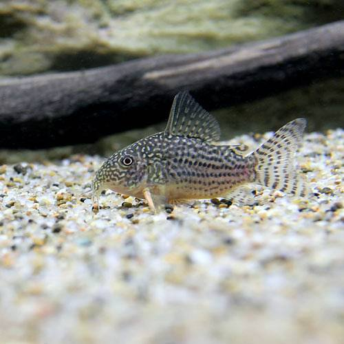 (熱帯魚)コリドラス・ステルバイ(3匹) 本州・四国限定[生体]