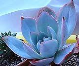 166.エケベリアの女王と呼ばれるカンテ。紫色の葉の淵が赤く、葉に白い粉がかかっているように見え幻想的な雰囲気。(Echeveria cante 5粒) [並行輸入品]