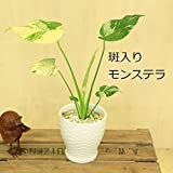 観葉植物:斑入りモンステラ*陶器鉢 受皿付 テーブルサイズ