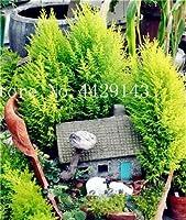 シード - ホット50 PCSイタリアンサイプレス(キュプレッサス・セムペルビレンズ)ツリー盆栽、ホームガーデン植えのための人気のあるハーディー盆栽:8