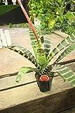 【観葉植物】【ラッピング代込】トラフアナナス 4.5寸鉢 【ギフト】【送料込】