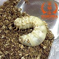 天然採取 佐賀産 カブト虫 幼虫 3令虫 5匹