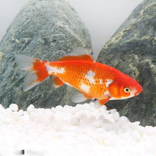(国産金魚)更紗和金 三つ尾~四つ尾(1匹)