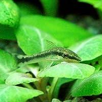 (熱帯魚)オトシンクルス(12匹) 北海道・九州航空便要保温