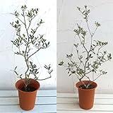 オリーブ2種セット:ネバティロブランコとマンザニロ6号ポット[受粉セット][苗木]