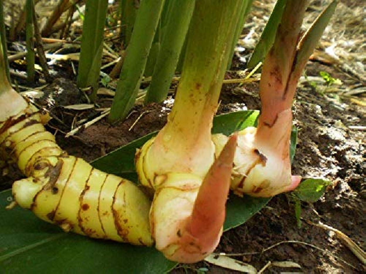みすぼらしい解釈的民間種子パッケージ:新! 1ガランガルの根茎FRESHアルピニアGALANGA THAIHEIRLOOM