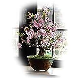 ハナカイドウ桜盆栽 下向きに咲く ピンクのかわいいサクラが楽しめます。