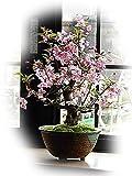 ハナカイドウ桜盆栽 下向きに咲く ピンクのかわいいサクラが楽しめます。 こぼんさい