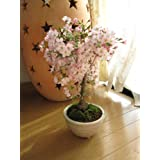 盆栽桜 御殿場さくら ピンクの一重咲きが 春にかわいいサクラが楽しめます。 さくら盆栽でお花見