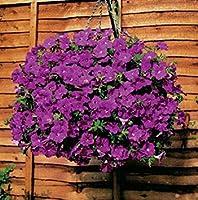 SEEDSのPLAT会社 20異なるハンギングペチュニアSeedsed色の花の種子植物の種子庭ペチュニア100個