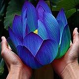 10PCSの花の種子ブルーロータス種子水生植物スイレン植物ミッドナイトブルーロータス