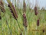 *食材専用!*H29年(佐賀県産)『モチ麦』(ダイシモチ) 300g (※農薬も化肥も不使用です!)