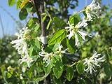 生垣に大人気の樹木☆トキワマンサク樹高2.0m前後 【青葉・白花】 常盤満作