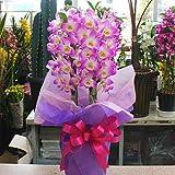 デンドロビューム鉢植え ピンク お祝い・誕生日など 長持ちする花