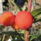 姫イチゴの木 3年生苗