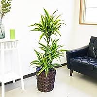 ドラセナ ワーネッキー レモンライム 鉢カバー付 観葉植物 中型 大型 インテリア