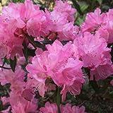 ハイブリッドツツジ:春一番[ハルイチバン]根巻きまたはポット入り樹高70~80cm ノーブランド品